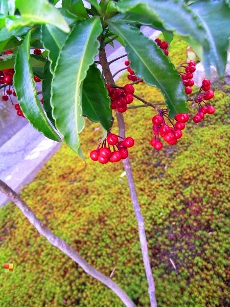 鎌倉にて マンリョウの木