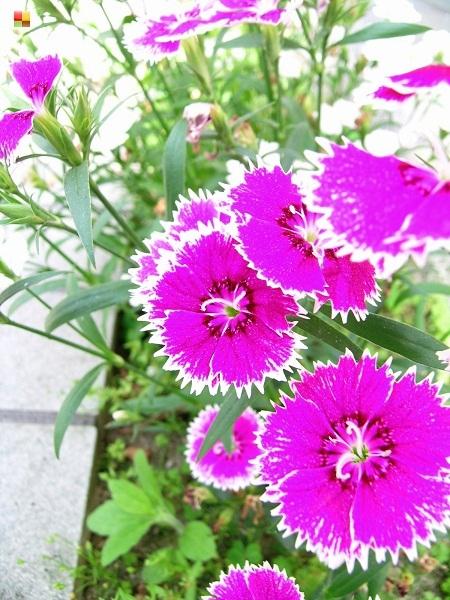 紫色のナデシコ
