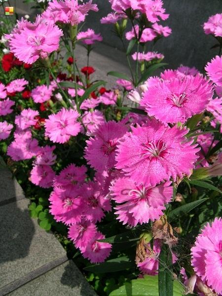 ピンク色のナデシコ